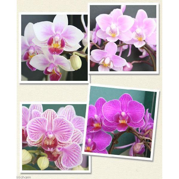 (観葉植物)鉢花ギフト マイクロ胡蝶蘭 2.5号 1本立ち(2WAYボックス入り) 花色おまかせ|chanet|02