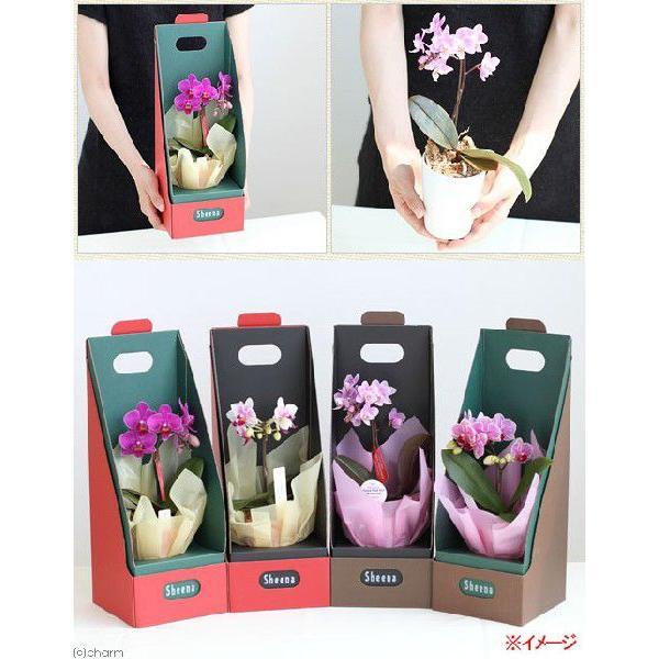 (観葉植物)鉢花ギフト マイクロ胡蝶蘭 2.5号 1本立ち(2WAYボックス入り) 花色おまかせ|chanet|03