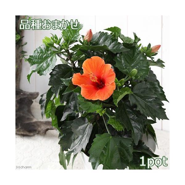 (観葉植物)ハイビスカス 品種おまかせ 5号(1鉢)