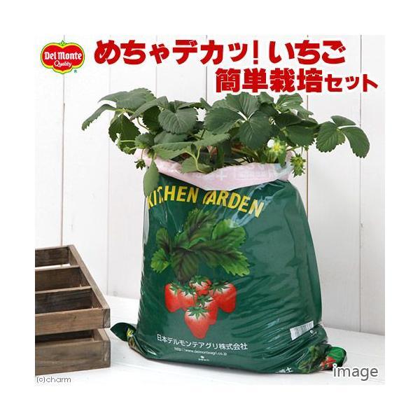 (観葉植物)デルモンテ キッチンガーデン 簡単イチゴ栽培セット(イチゴ苗 めちゃデカッ!いちご付き)(1セット) 家庭菜園