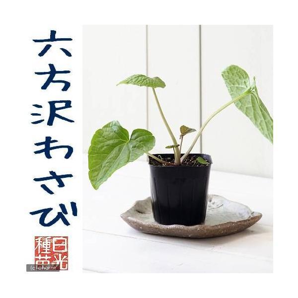 (観葉)野菜苗 六方沢わさび(水栽培・畑栽培両用) 3号(お買い得5ポットセット) 家庭菜園|chanet