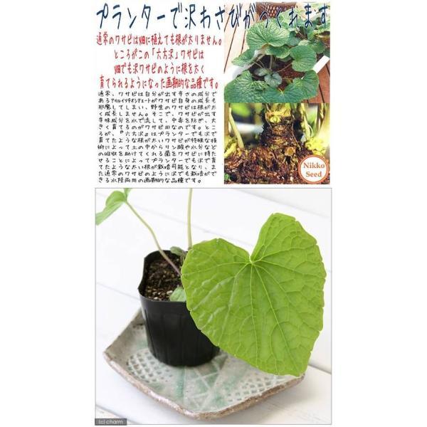 (観葉)野菜苗 六方沢わさび(水栽培・畑栽培両用) 3号(お買い得5ポットセット) 家庭菜園|chanet|03