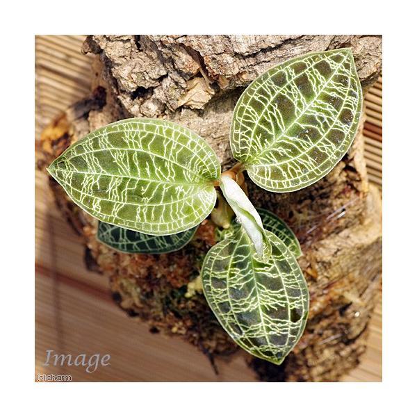 (観葉植物)バージンコルクプランツ ジュエルオーキッド マコデス ペトラ(1個)|chanet|02