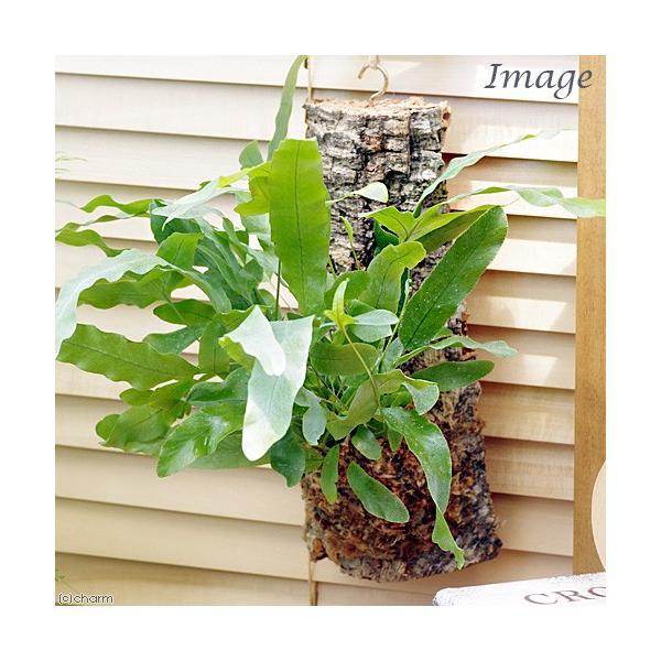(観葉植物)バージンコルクプランツ シダ フレボディウム オーレウム ブルースター(1個)|chanet