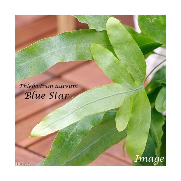 (観葉植物)バージンコルクプランツ シダ フレボディウム オーレウム ブルースター(1個)|chanet|02