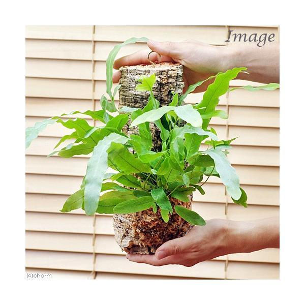 (観葉植物)バージンコルクプランツ シダ フレボディウム オーレウム ブルースター(1個)|chanet|03