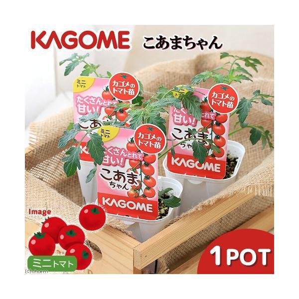 (観葉植物)カゴメ 野菜苗 トマト こあまちゃん 3号(1ポット) 家庭菜園|chanet