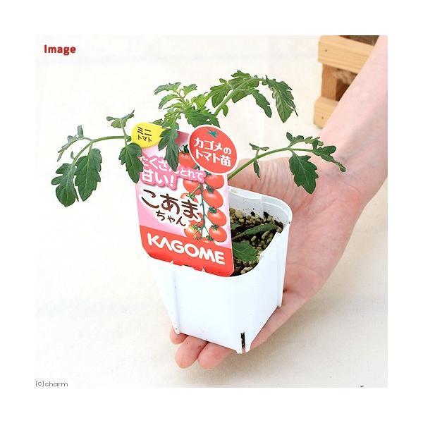(観葉植物)カゴメ 野菜苗 トマト こあまちゃん 3号(1ポット) 家庭菜園|chanet|03