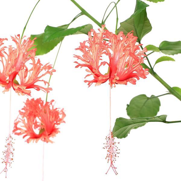 (観葉植物)フウリンブッソウゲ(風鈴仏桑花) ハイビスカス 3〜3.5号(1ポット)
