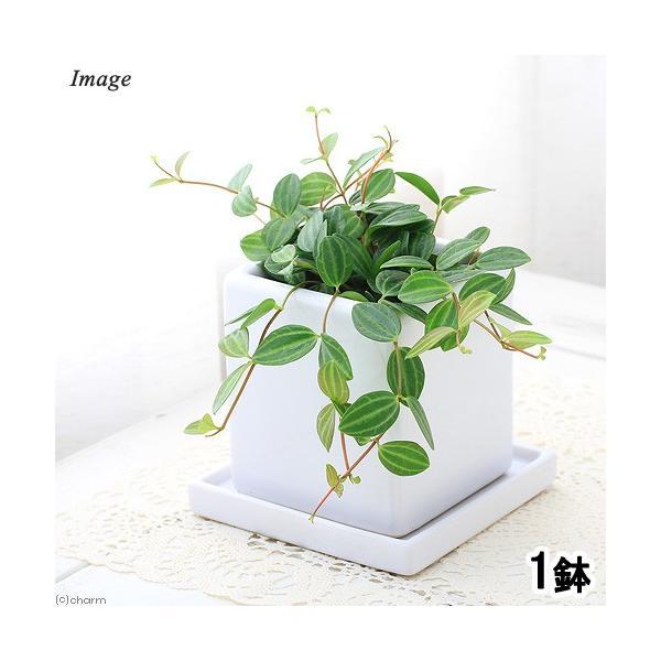(観葉植物)ペペロミア アングラータ 陶器鉢植え ダイスM WH(1鉢) 受け皿付き