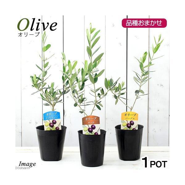 (観葉植物)果樹苗 オリーブの木(品種おまかせ) 3.5号(1鉢) 品種名のラベル付き 家庭菜園