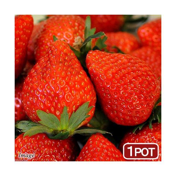 (観葉植物)野菜苗 イチゴ とちおとめ 3号(1ポット) いちご苗 家庭菜園