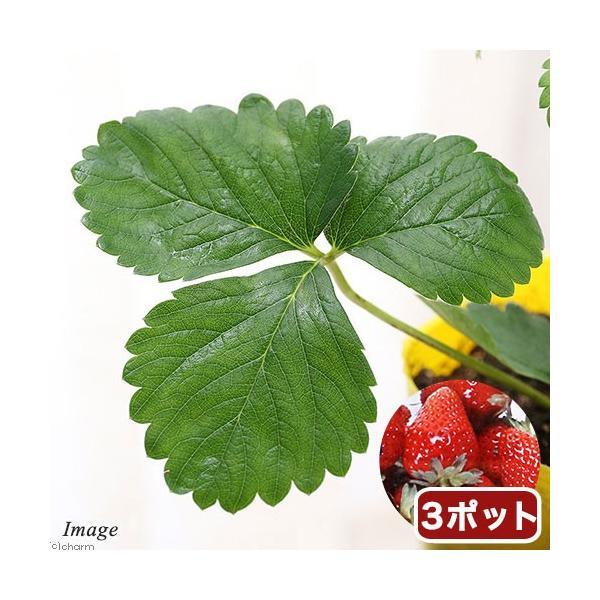 (観葉植物)野菜苗 イチゴ 宝交早生 3号(3ポット) 家庭菜園 いちご苗