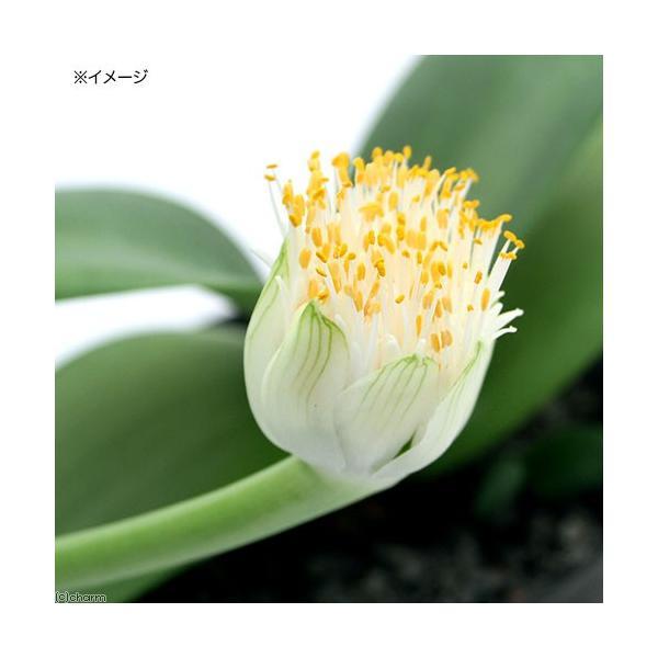(観葉植物)マユハケオモト(ハエマンサス) 3〜4号(1鉢)