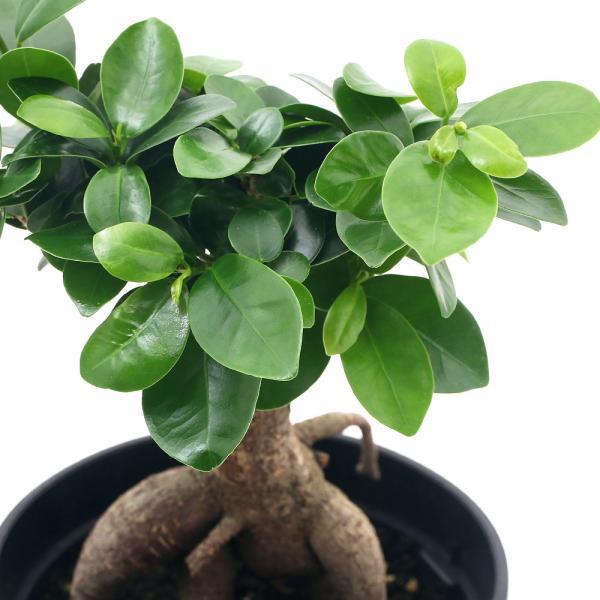 (観葉植物)フィカス パンダ(タイワンガジュマル、パンダガジュマル) sp. 5号(1鉢)