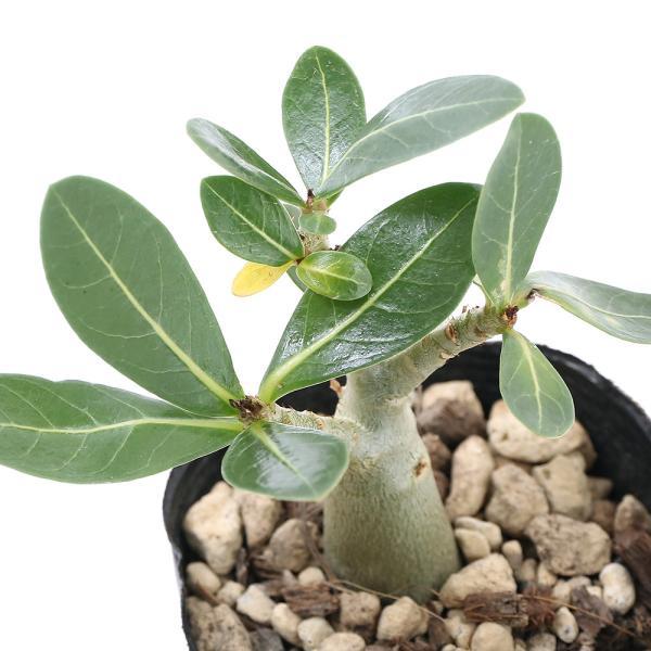 (観葉植物)アデニウム アラビカム 2.5〜3号(1鉢) コーデックス