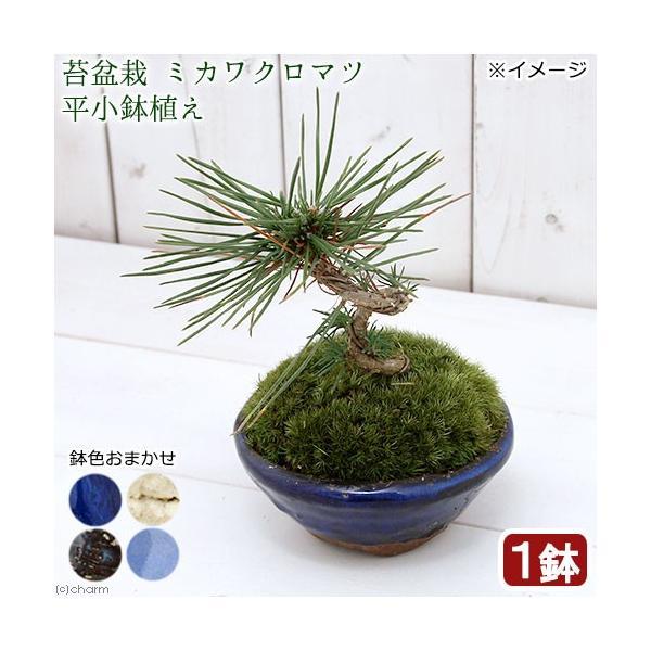 (山野草)苔盆栽 ミカワクロマツ(三河黒松) 平小鉢植え 鉢色おまかせ(1鉢)
