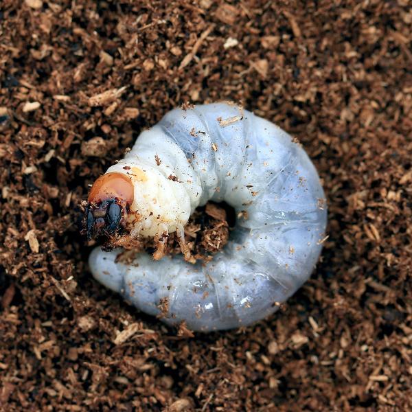 |(昆虫)ニジイロクワガタ クィーンズランド産 幼虫(初〜2令)(1匹)