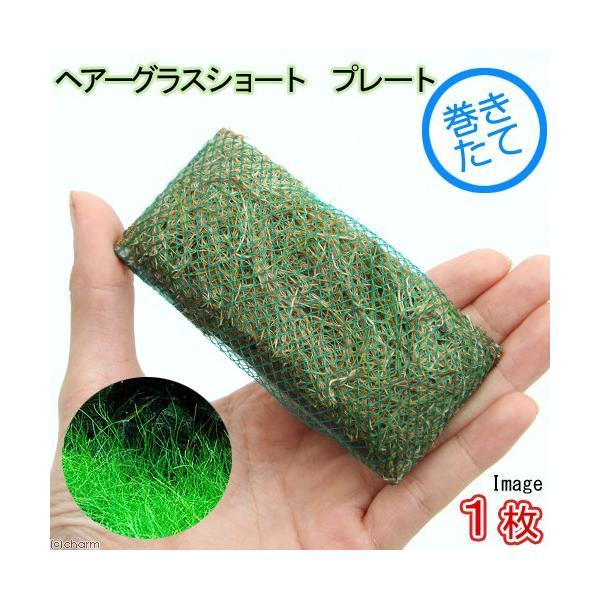(水草)巻きたて ロックウール付 ヘアーグラスショート プレート(無農薬)(1枚)