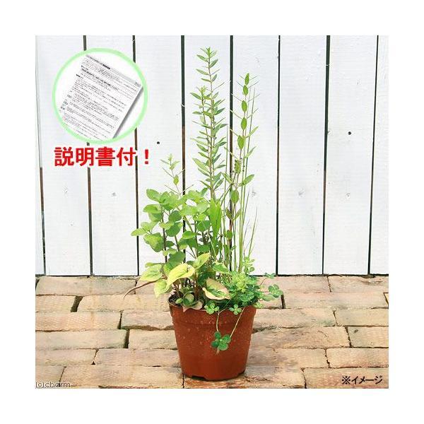 (ビオトープ)水辺植物 インスタントビオトープ(寄せ植え)(1鉢)説明書付