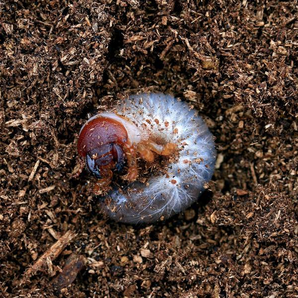 |(昆虫)エレファスゾウカブトムシ カテマコ産 幼虫(初〜2令)(1匹)