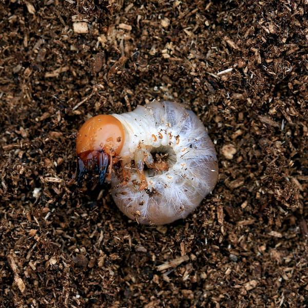 |(昆虫)国産オオクワガタ 産地累代数不明 幼虫(初〜2令)(1匹)
