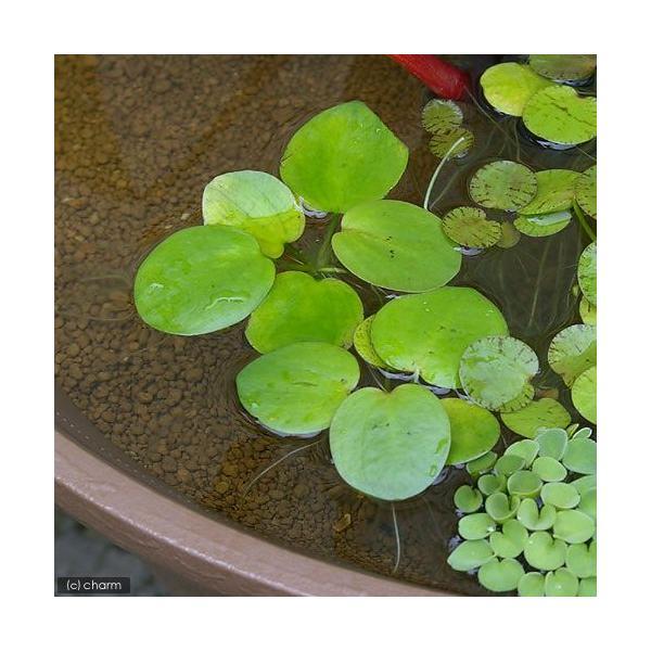 (ビオトープ)水辺植物 アマゾンフロッグビット(無農薬)(3株) 北海道航空便要保温