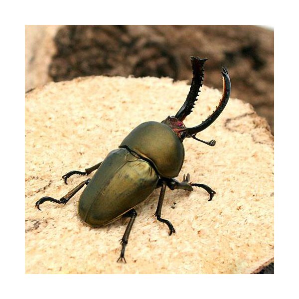 |(昆虫)パプアキンイロクワガタ アルファック産 幼虫(初〜2令)(1匹) 外国産クワガタ