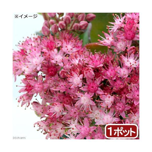(山野草)日高ミセバヤ 2.5号(1ポット) (休眠株)|chanet