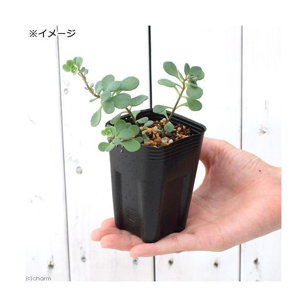 (山野草)日高ミセバヤ 2.5号(1ポット) (休眠株)|chanet|02