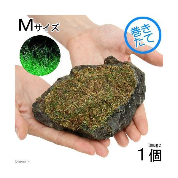 (水草)巻きたて ロックウール付 ヘアーグラスショート 風山石 Mサイズ(12〜15cm)(無農薬)(1個)