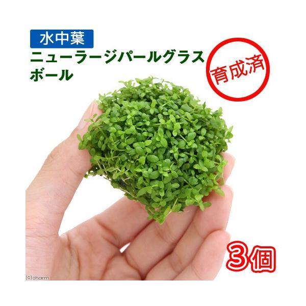 (水草)育成済 ニューラージパールグラス ボール(水中葉)(無農薬)(3個)