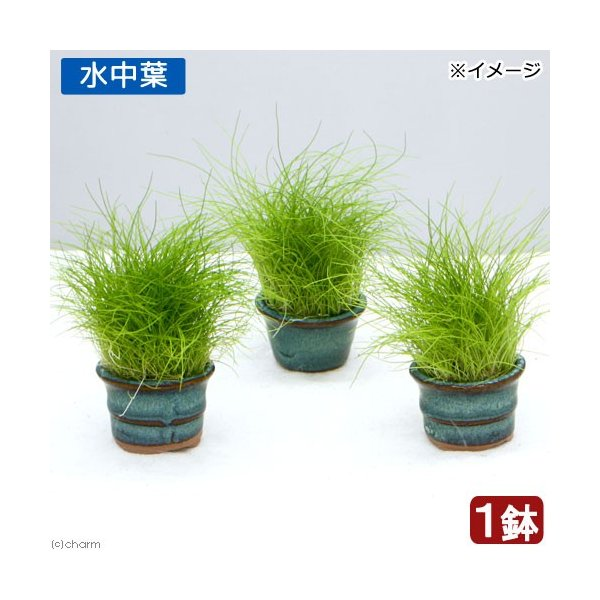 (水草)豆鉢入り ヘアーグラス ショート(水中葉)(無農薬)(1鉢)
