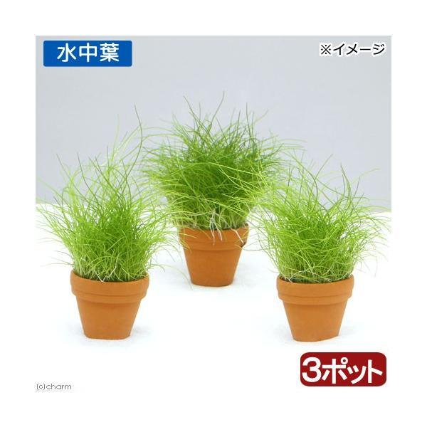(水草)プチ素焼き鉢 ヘアーグラス ショート(水中葉)(無農薬)(3鉢)