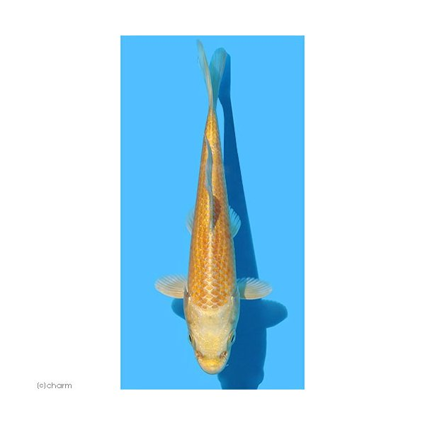 |(錦鯉)山吹黄金 8〜13cm(1匹)