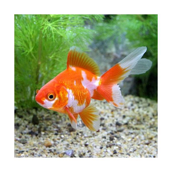 (国産金魚)更紗琉金(サラサリュウキン)(3匹)