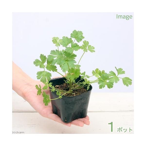 (観葉植物)ペットリーフ パセリ イタリアンパセリの苗 3号(無農薬)(1ポット) うさぎ ハムスター おやつ