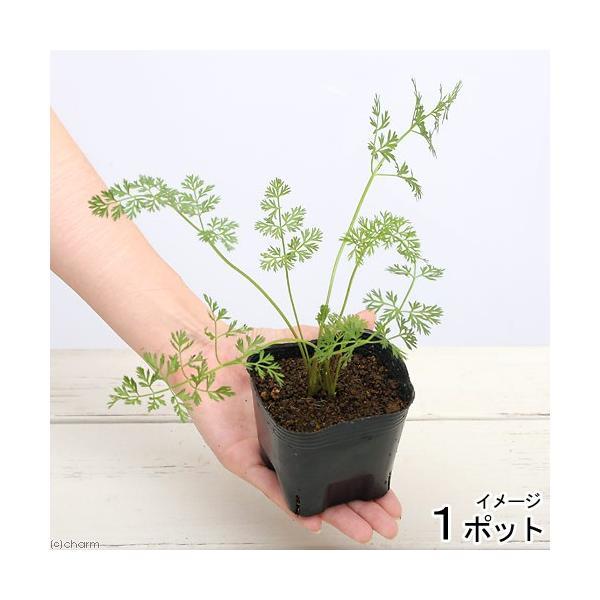 (観葉植物)ペットリーフ 葉ニンジンの苗 3号(無農薬)(1ポット)ハニンジンの苗 はにんじんの苗 うさぎ 鳥 リクガメ おやつ chanet