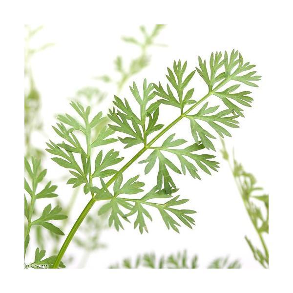 (観葉植物)ペットリーフ 葉ニンジンの苗 3号(無農薬)(1ポット)ハニンジンの苗 はにんじんの苗 うさぎ 鳥 リクガメ おやつ chanet 02