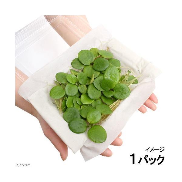 (水草)アマゾンフロッグビット 大パック(無農薬)(約30株)(1パック) 北海道航空便要保温