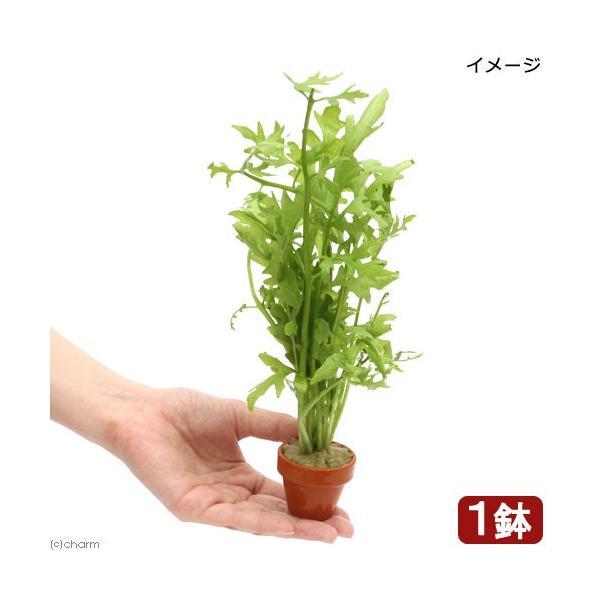 (水草)ウォータースプライト ミニ素焼き鉢(水上葉)(無農薬)(1鉢)