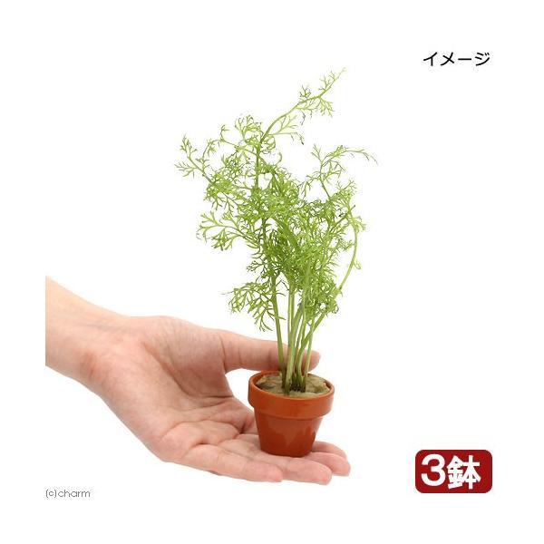 (水草)ベトナム産スプライト ミニ素焼き鉢(水上葉)(無農薬)(3鉢)
