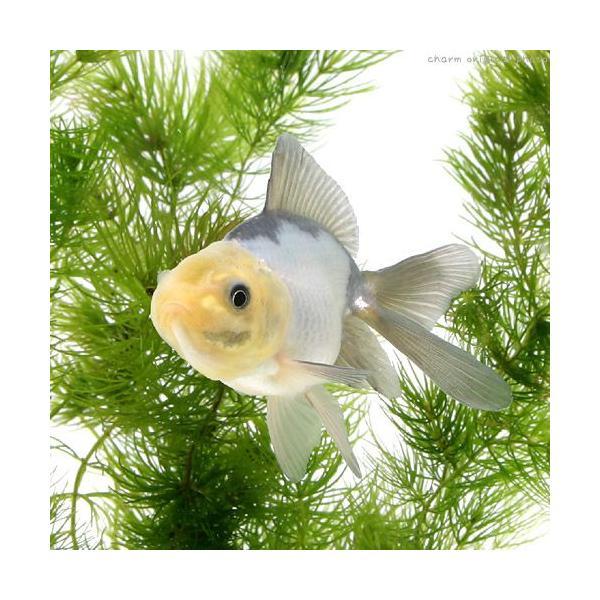 |(国産金魚)羽衣(ハゴロモ)(1匹)