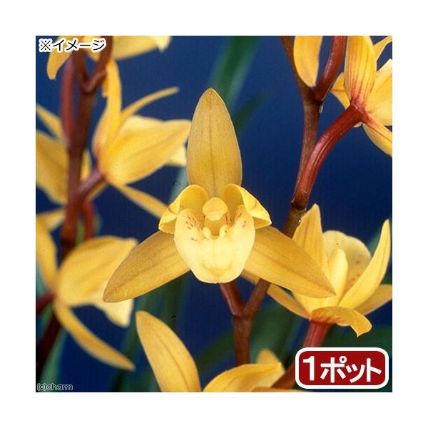 (観葉植物)和蘭 シンビジューム 冬時雨 3号(1鉢)