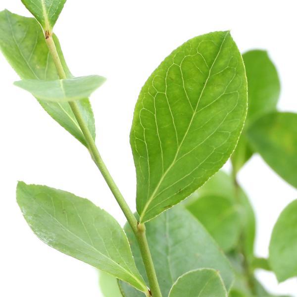 (観葉植物)果樹苗 ブルーベリー パウダーブルー 大実ラビットアイ系 5号(1ポット) 家庭菜園
