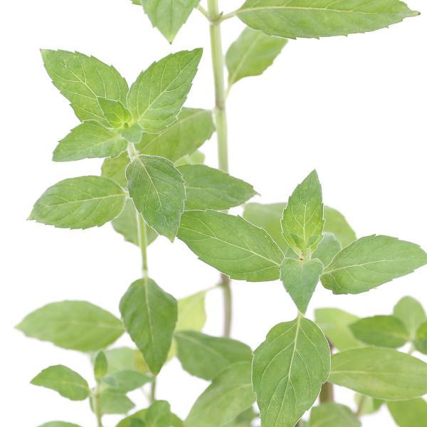 (観葉植物)ハーブ苗 ミント ニホンハッカ りょくび 3号(1ポット) 家庭菜園