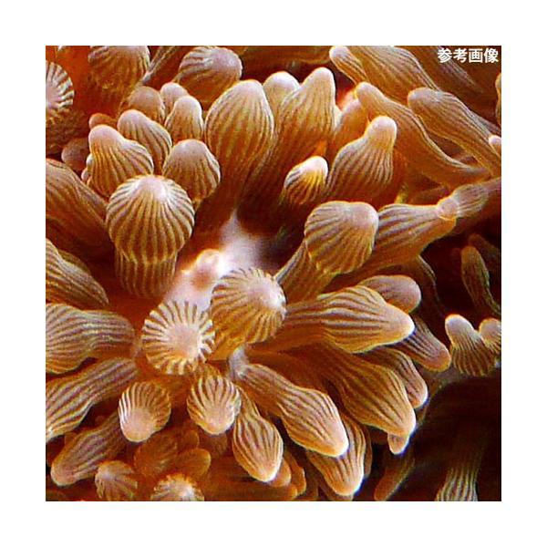 C.P.Farm直送(海水魚 無脊椎)マメサンゴイソギンチャク 3個体(0.08個口相当)別途送料 海水 サンゴ|chanet|02