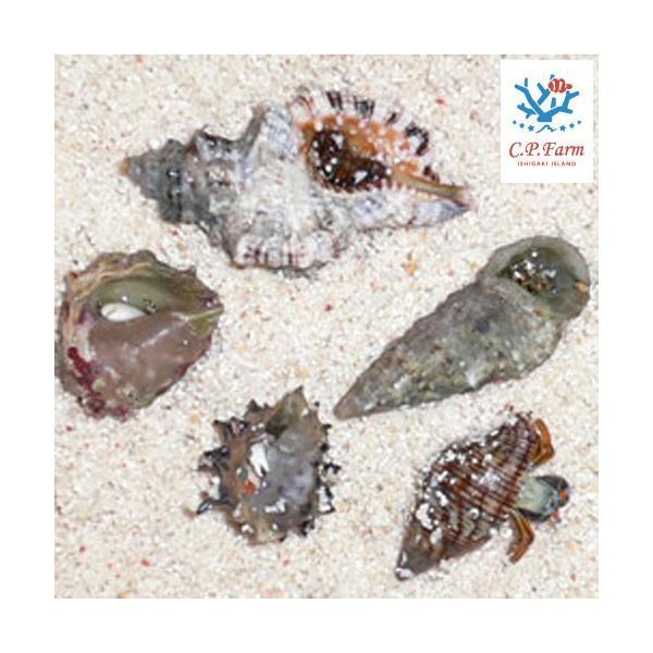 C.P.Farm直送 石垣島産 サンゴ礁ヤドカリセット(0.08個口相当)別途送料 海水 クリーナー chanet