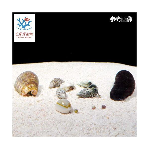 C.P.Farm直送(海水魚 無脊椎)石垣島産おすすめクリーナー・マガキガイセット(ナマコ・貝・ヤドカリ) 60cm水槽用(0.56個口相当)別途送料|chanet