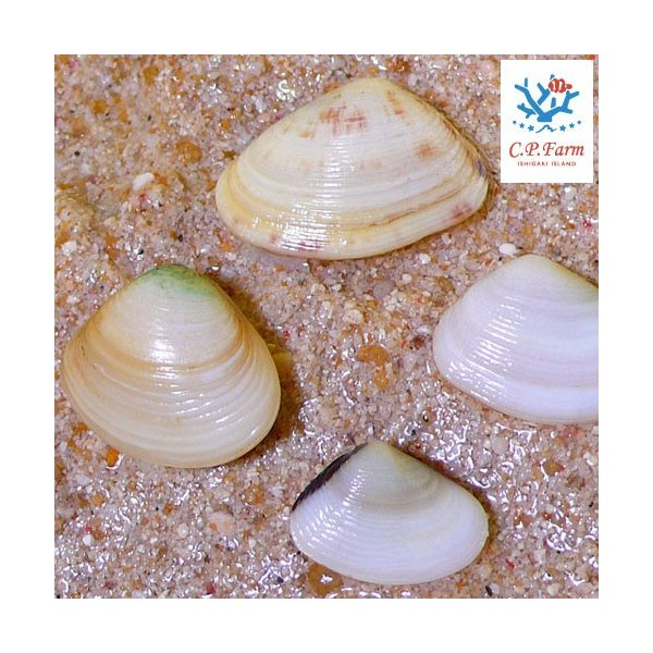 C.P.Farm直送(海水魚 貝)石垣島産 二枚貝 10個体(0.12個口相当)別途送料 海水 クリーナー|chanet